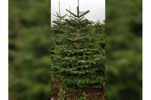 Select Nordmann Christmas Tree