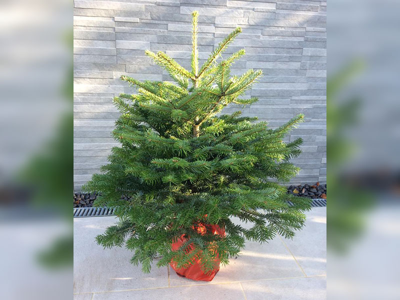 Nordmann Premium Potted Christmas Tree
